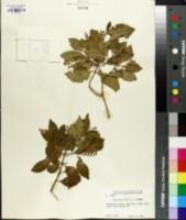 Image of Chiococca alba