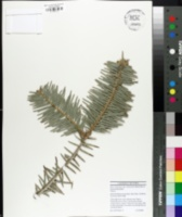 Image of Abies chensiensis