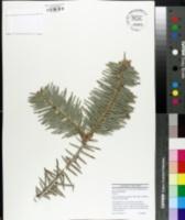 Image of Abies chensiensis