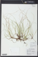 Carex austrodeflexa image