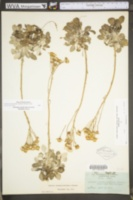 Packera antennariifolia image