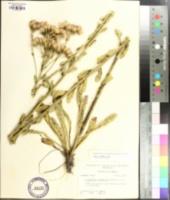 Carphephorus corymbosus image