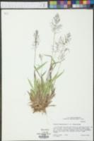 Panicum sphaerocarpon image
