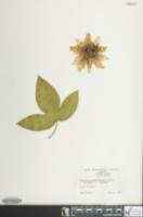 Image of Passiflora alato-caerulea