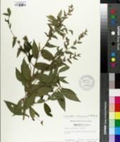 Image of Vernonia arborescens