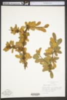 Sideroxylon tenax image