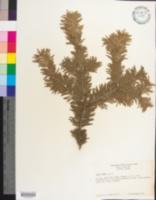 Abies alba image