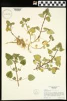 Lamium purpureum var. purpureum image