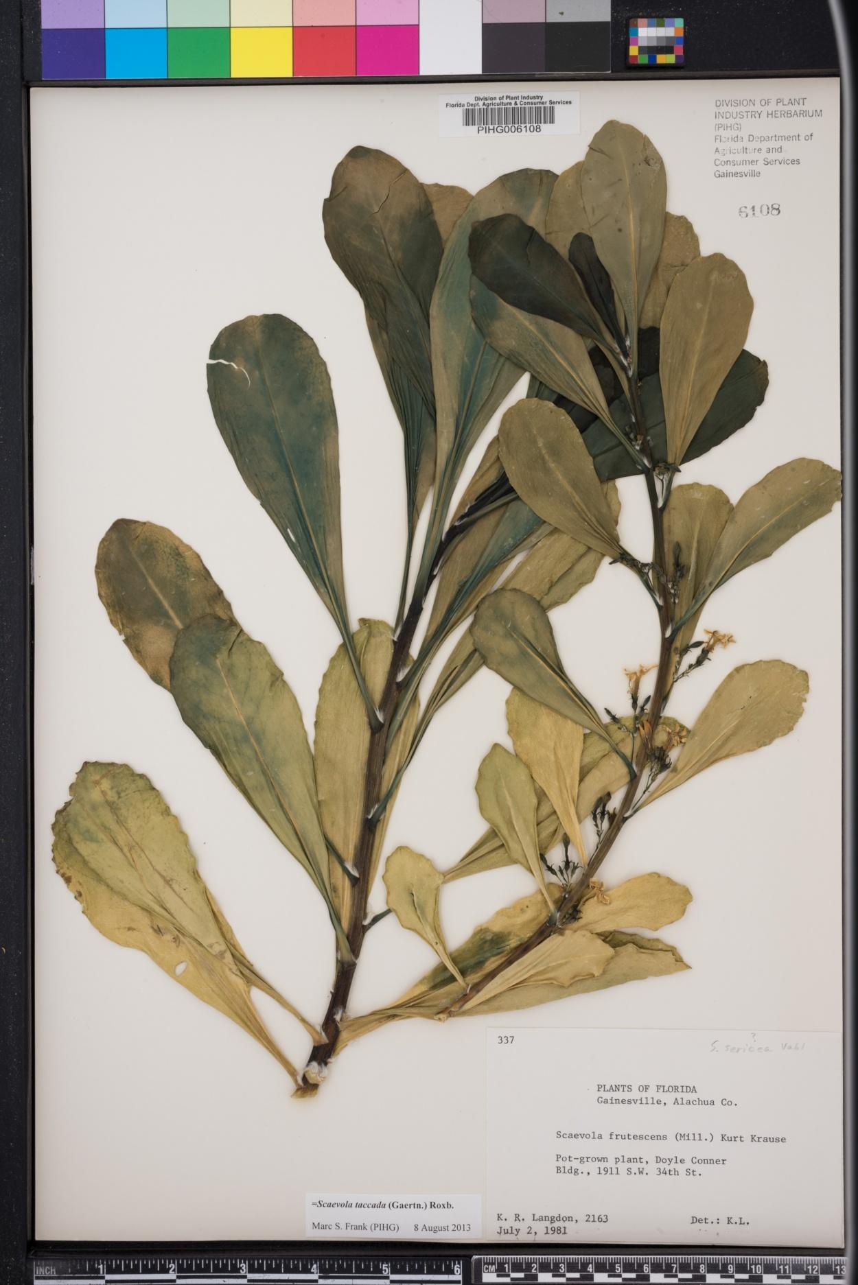 Scaevola frutescens image