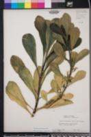 Image of Scaevola frutescens
