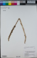 Piperia michaelii image