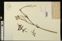 Sonchus tenerrimus image