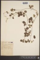 Galactia floridana image