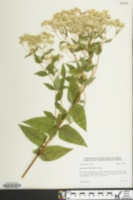 Image of Eupatorium godfreyanum