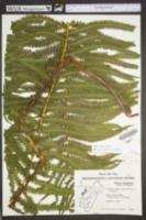 Matteuccia struthiopteris image