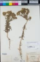 Deinandra corymbosa image