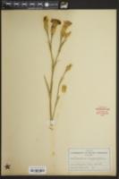 Dianthus caryophyllus image
