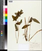 Uvularia grandiflora image