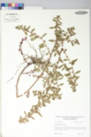 Ludwigia ravenii image