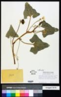 Ecballium elaterium image