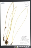 Image of Juncus inflexus