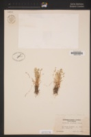 Plagiobothrys hispidulus image