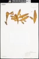 Image of Korthalsella latissima