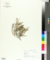 Image of Searsia erosa