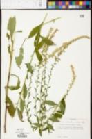 Solidago ulmifolia image