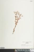 Image of Hypericum mutilum