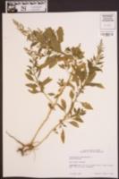 Dysphania ambrosioides image