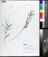 Dichanthelium pedicellatum image