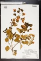 Image of Bougainvillea buttiana
