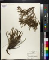 Hedyotis intricata image