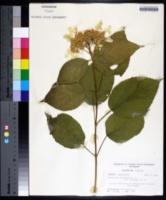 Hydrangea arborescens var. oblonga image