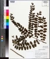 Amorpha nitens image