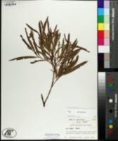 Salix exigua image