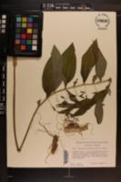 Polygonatum pubescens image