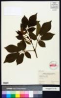 Tabebuia chrysotricha image