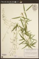 Desmodium tenuifolium image