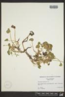 Heteranthera reniformis image