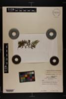 Image of Asplenium montanum