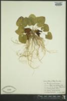 Asarum shuttleworthii image