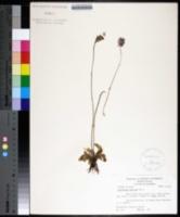 Image of Pinguicula caerulea