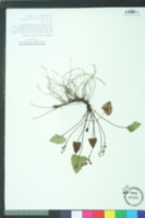 Image of Synthyris cordata