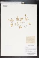 Oxalis corniculata image