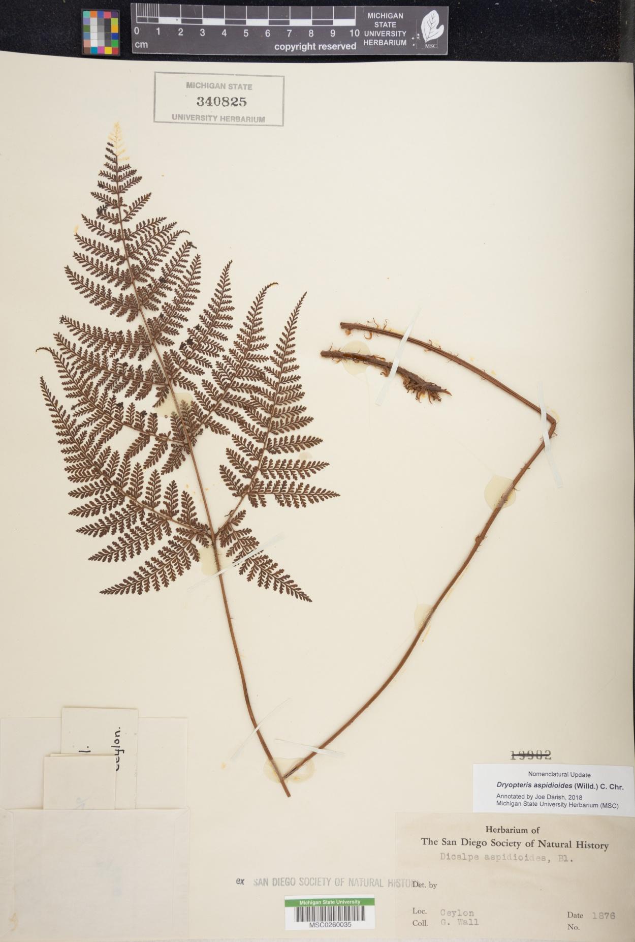 Amauropelta aspidioides image