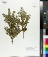 Buxus sinica image