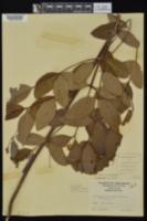 Apocynum × floribundum image