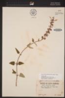 Salvia longistyla image